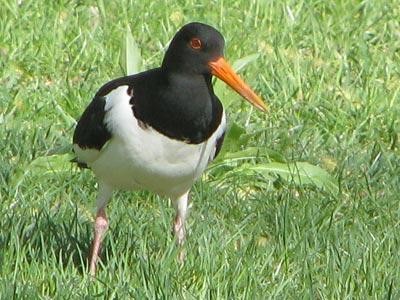 fågel med lång näbb