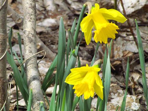 blommande träd på våren